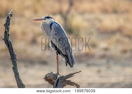 Great blue heron (Ardea herodias) resting on a tree branch