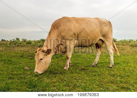 Brown cow with sawn horns grazes in a nature area. Many flies are on the fur of the cow and around its head. It is a cloudy day in the summer season.