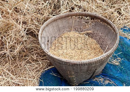 Paddy In The Old Basket With Pile Of Straw All Around.