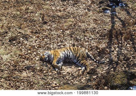 A sleeping Amur tiger in an autumn forest.