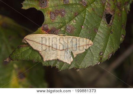 Lood Vein Moth (timandra Comae)