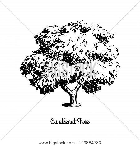 Vector sketch illustration of Candlenut. Black silhouette of Kukui nut tree isolated on white background. Candleberry or Indian walnut, official state tree of Hawaii.