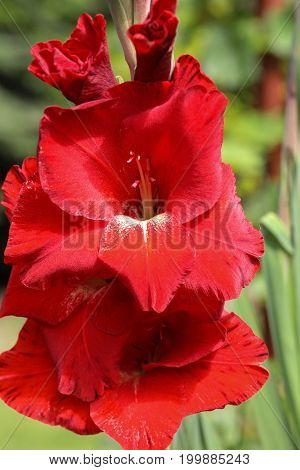 Head of gladiolus flower in summer garden