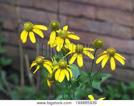 Yellow cone flower in the front garden.