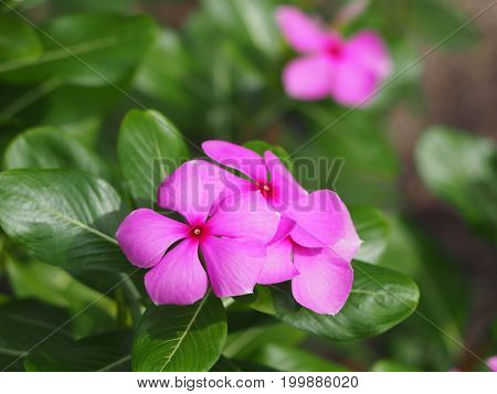Beautiful pink vinca flowers with a green blur back ground.