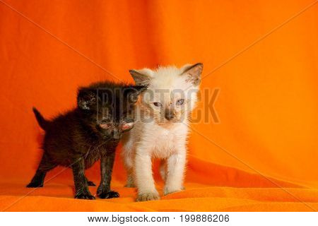 Two sad and scruffy feral kittens stand on an orange background. They have obvious eye problems from the congenital herpes their mom gave them at birth.