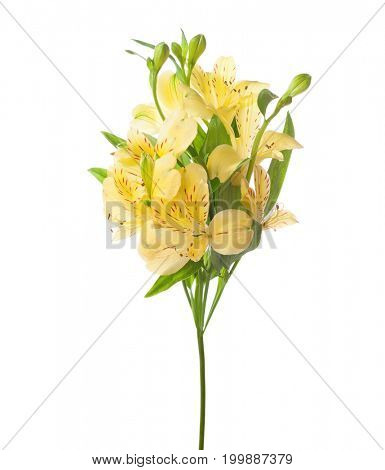 Yellow  Alstroemeria isolated on white background.