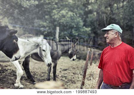 Elderly farmer taking care of donkeys