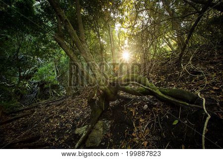 Light Shining through the dense indigenous forest in the Overberg in South Africa