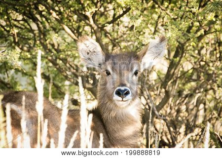 Young Waterbuck Calf Standing Under The Brush To Hide From Predators In The Kalahari In South Africa