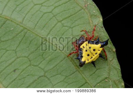 image of a beautiful spiny orb weaver spider from Borneo forest