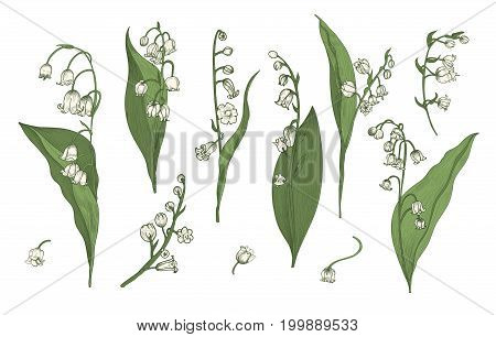 Lily of the valley realistic collection. Hand drawn buds, leaves and stems set. Colorful vector illustration