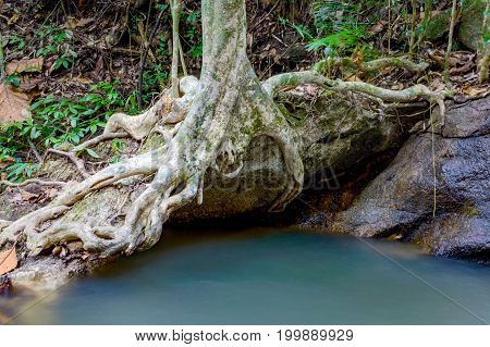 Big Tree Roots On Stone Above River In Tropical Rainforest