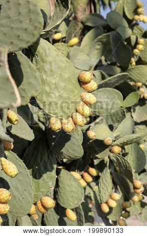 Fruits edible cactus - prickly pear (Opuntia) close-up