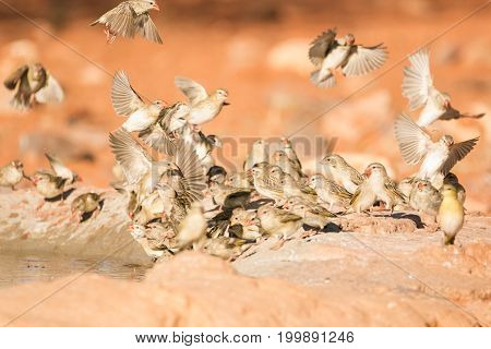 Large Flock Of Red Billed Weaver Birds Flying Around A Water Hole On A Warm Sunny Day In The Kalahar
