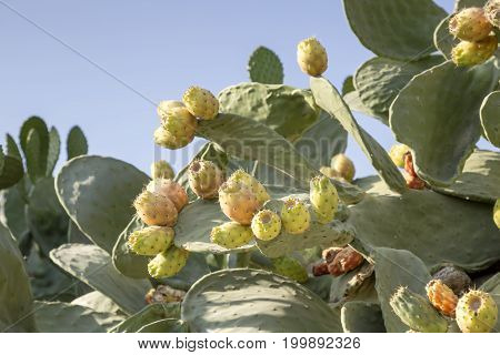 Fruits edible cactus - prickly pear (Opuntia) close-up
