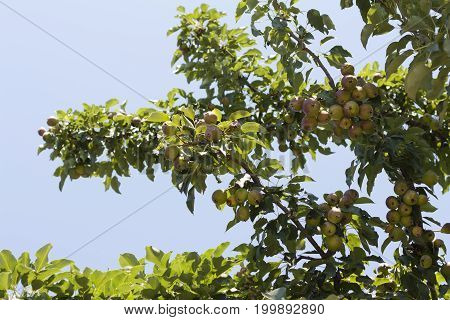 Pear ripe organic cultivar pears in the summer garden photo