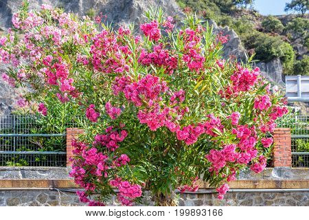 Little pink roses tree bush on Monterosso al Mare mountains background. Italy, Cinque Terre