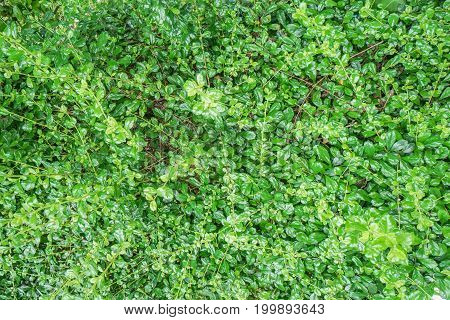 close up texture of green leaves bush