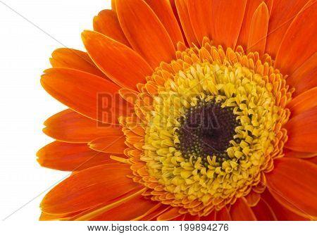 Gerbera flower (Gerbera jamesonii) orange and yellow isolated on white background
