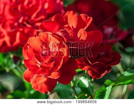 rose flower grade andalusien, dense clusters of bright red flowers in full bloom, lit by sunlight, summer period, background of green foliage and blurred roses in flowering, closeup,  three on branch