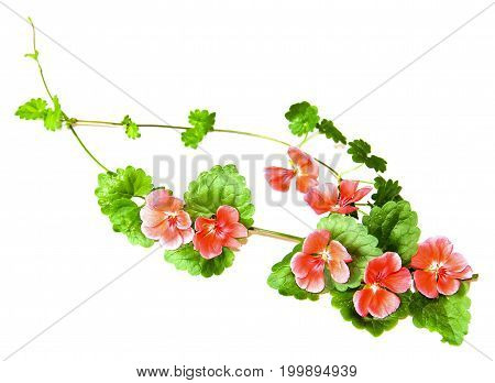 Composition Of Fresh Green Leaves Of The Ground Cover And Bright Pink Flowers Of Geranium