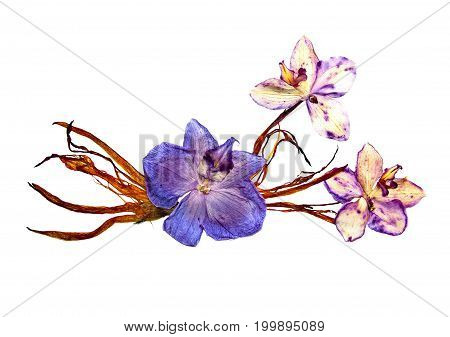 Bizarre Curved Extruded Dried Lily Petals. Pressed Pink Orchid Flower Blue