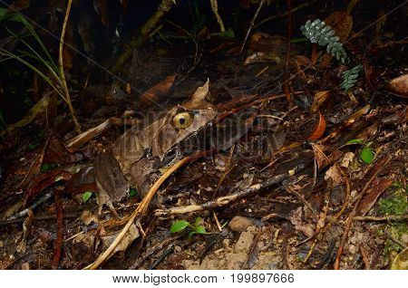 image of a Montane Horned Frog from Borneo forest
