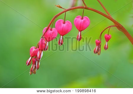 Red Bleeding Heart Flowers Bloom In The Spring Perennial Garden.
