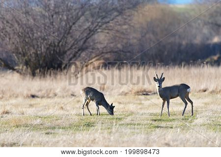troop of roe deer. herd of roe deers on meadow ( Capreolus capreolus )
