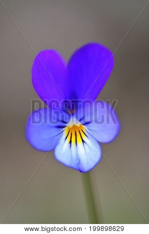 Wild Pansy (viola Tricolor) Flower. Close-up Of A Flower From A Viola Tricolor Plant, Showing The Pa