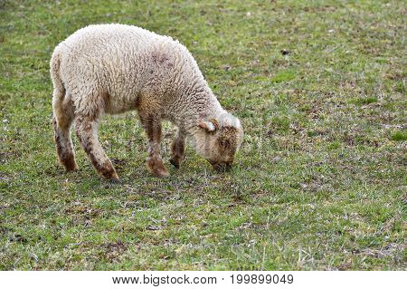sheeps and lambs.  Little lamb drinking with its mom sheep on a green field