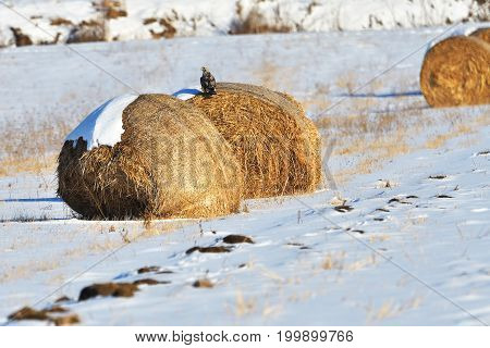 Golden hay bales in a snow covered winter field. Rural landscape with focus on the foreground bale and copy space