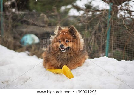 Small German Spitz In The Winter