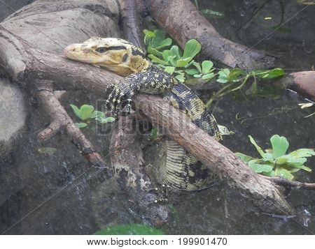 Green Lizard half submerged and resting in the Living Rainforest in Hampshire England