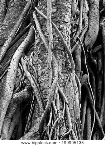 Closeup Old Root of Sacred Fig or Bodhi Tree Black and White
