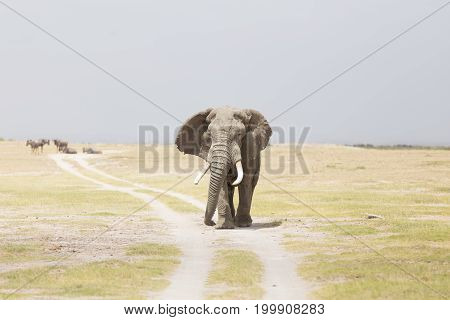 Solitary elephant standing on a dirt road at Amboseli National Park, formerly Maasai Amboseli Game Reserve, is in Kajiado District, Rift Valley Province in Kenya.