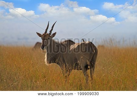 Adult Eland (Taurotragus oryx) standing on the dry plains in the Masai Mara Kenya with a blue cloudy sky and an oxpecker on its back