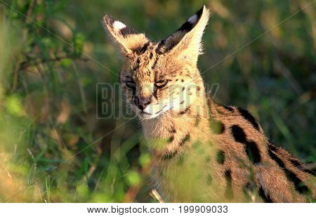 A serval Cat (Leptailurus serval) sitting amongst tall grass and bushes in the Masai Mara National Park Kenya