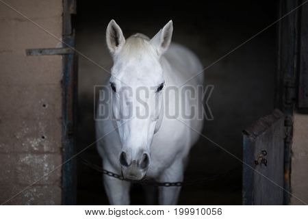 Portrait of white horse standing in stable