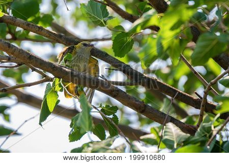 Young Eurasian Golden Oriole or Oriolus oriolus perches on branch at tree crown