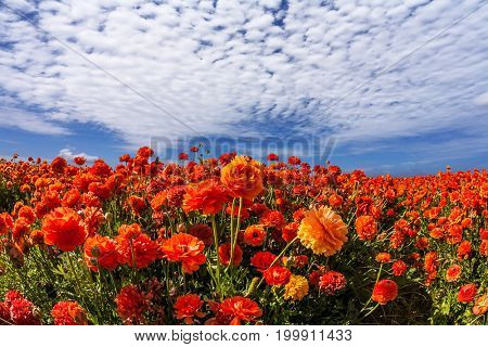 Concept of rural tourism and agrotourism. Light cirrus clouds portend a warm day. Luxury garden buttercups. The kibbutz in southern Israel
