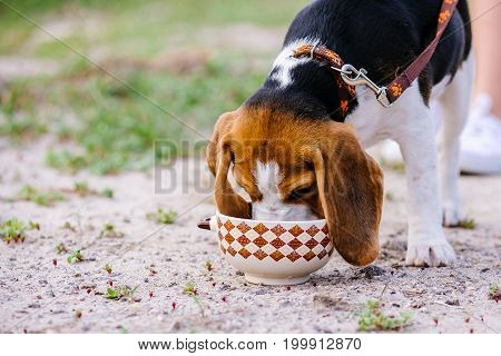 Beagle dog drinks water from a ceramic bowl in the street on a hot day