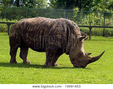 a big rhinoceros eating grass in a zoo poster