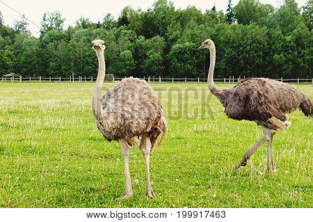 Two young ostriches on green grass in summer