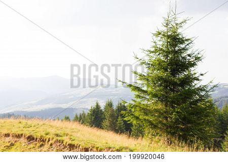 Spruce forest in the Ukrainian Carpathians. Sustainable clear ecosystem. Mountain valley