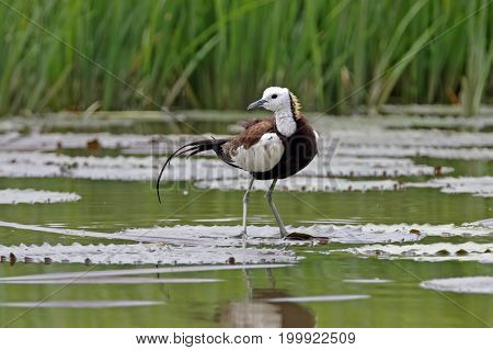 Pheasant-tailed Jacana Hydrophasianus Chirurgus Beautiful Birds Of Thailand