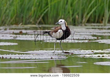 Pheasant-tailed Jacana Hydrophasianus Chirurgus Beautiful Birds Of Thailand