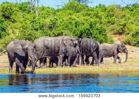 Watering in the Okavango Delta. The concept of active and exotic tourism. Chobe National Park in Botswana. Herd of African elephants crossing river in water