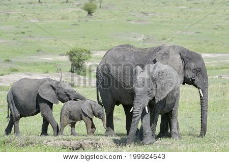 African Elephant (Loxodonta africana) family standing together with a small baby at a waterhole in the savanna Serengeti national park Tanzania.